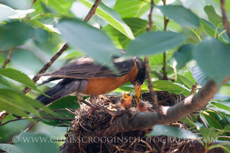 Male robin feeding his two-day-old chicks.