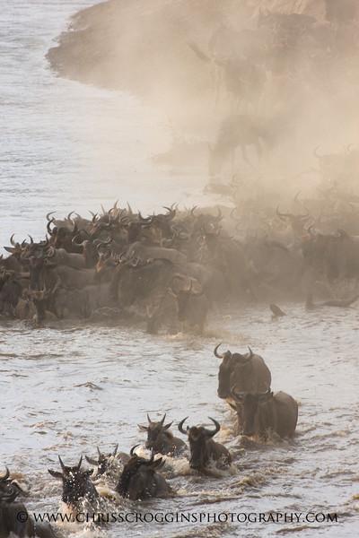 Wildebeests Crossing the Mara