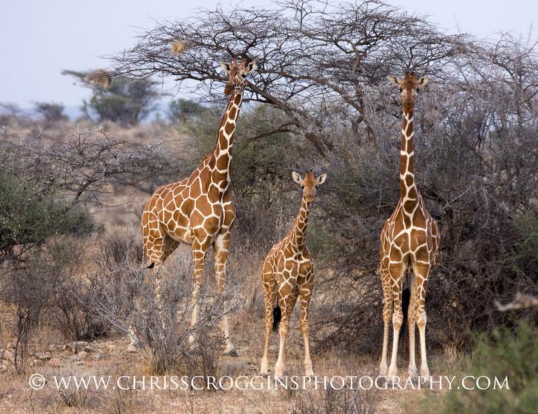 Reticulated Giraffe Family H