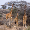 Reticulated Giraffe Family H