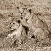 Two Lion Cubs.<br /> Ndutu, Tanzania.