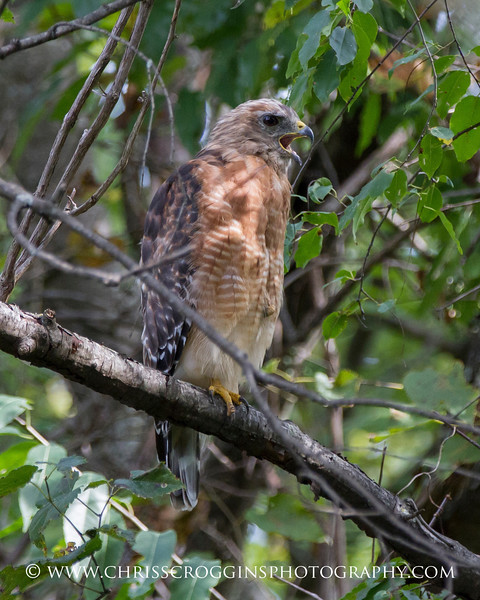 Red-shouldered Hawk 1