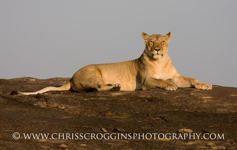 Lioness on Kopje