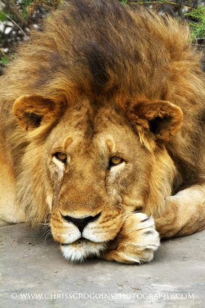 Lion King Emeritus