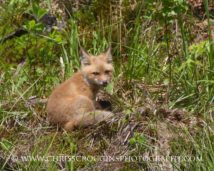 Foxy 4