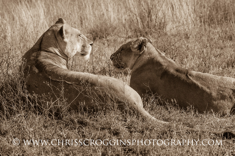 Two Lioness Resting H