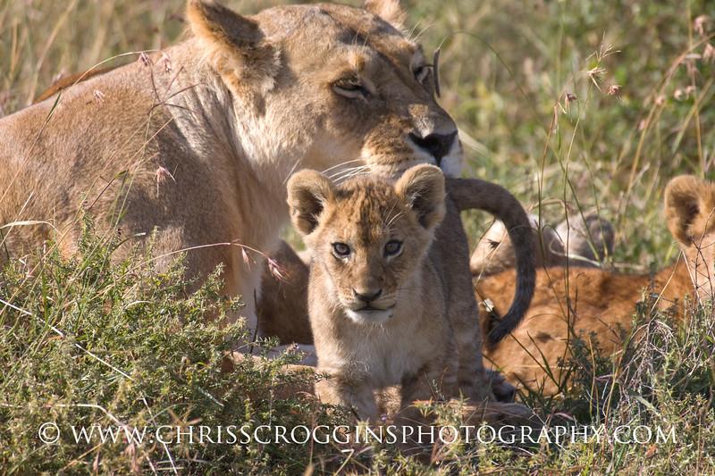 Cute Lion Cub, <br /> Ndutu, Tanzania.