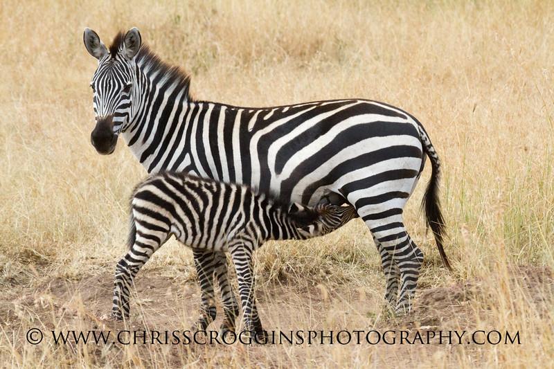 Nursing Zebra Foal
