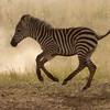 Baby Zebra Running
