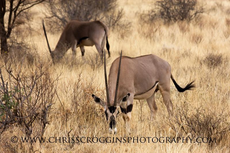 Besian Oryx
