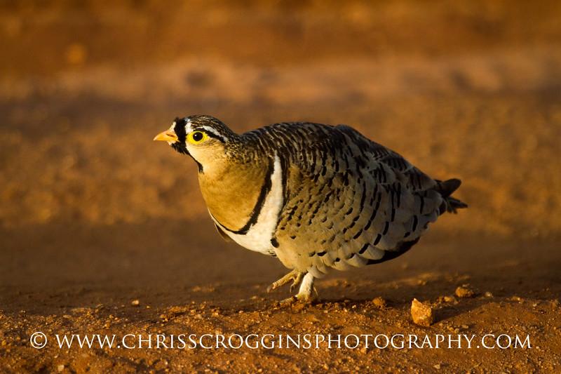 Black-necked Sand Grouse
