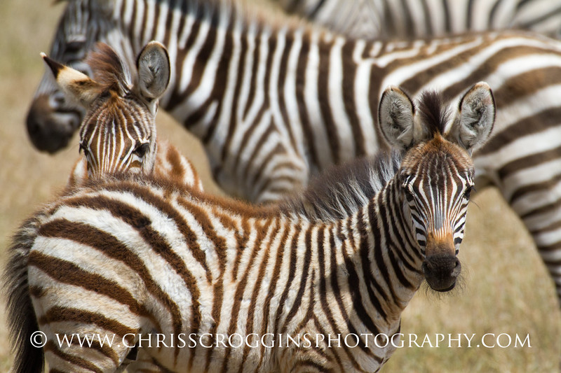 Zebra Foals.