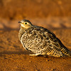 Female Black Necked Sand Grouse