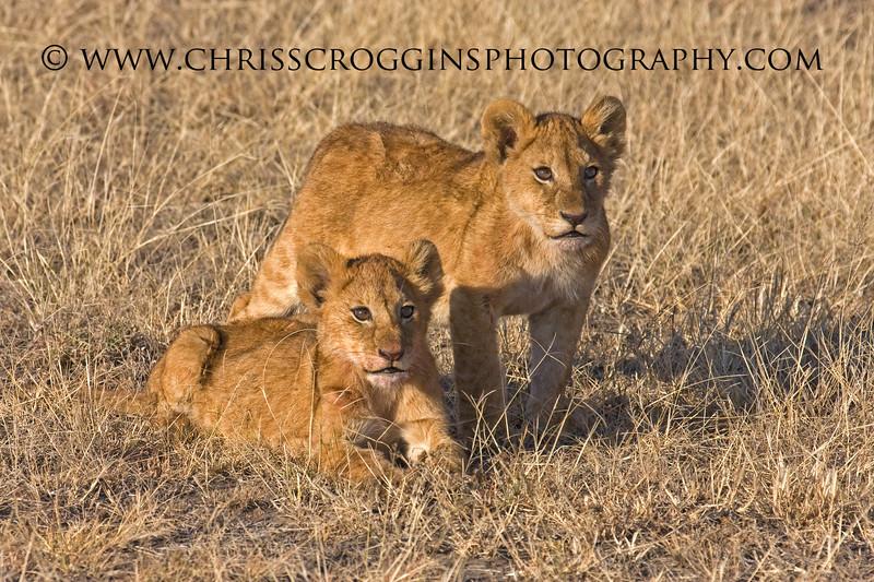 African Lion Cubs, <br /> Ndutu,Tanzania.