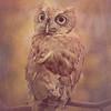Screech Owl 3