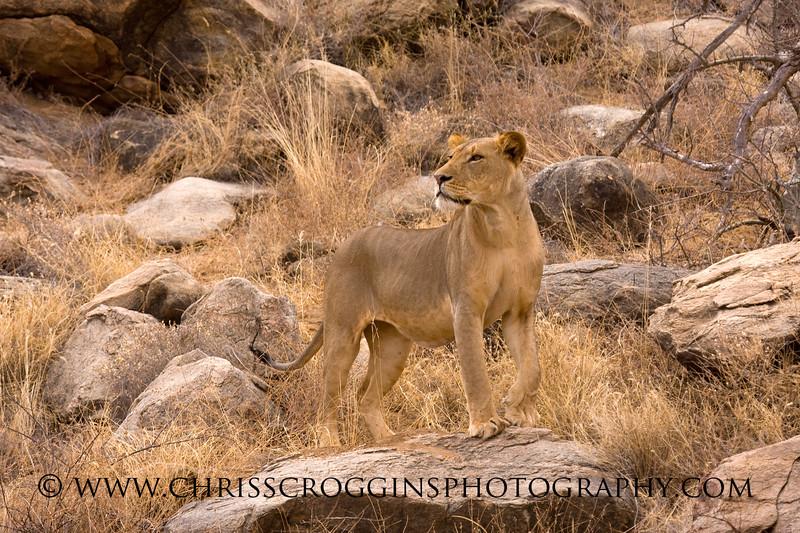 Young male Lion,<br /> Samburu, Kenya.