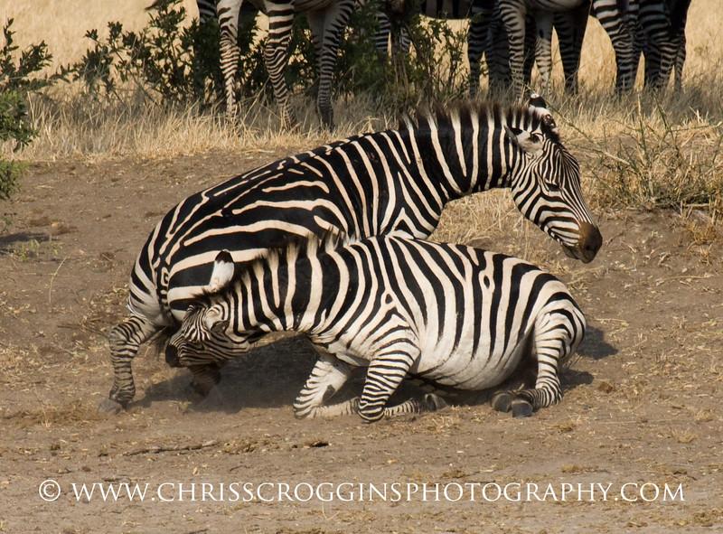 Female Zebra Fight