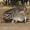 Female Zebra Fight