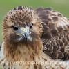 Fluffy Hawk