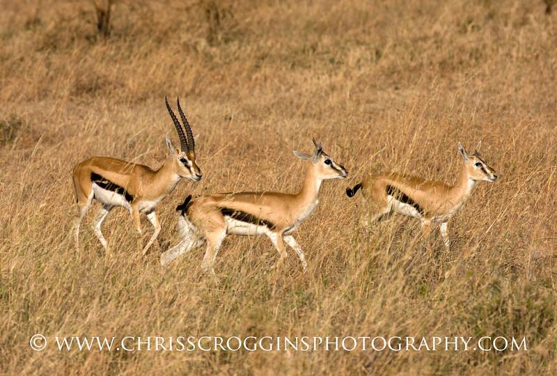 Thompsons Gazelles