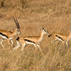 Thompsons Gazelles