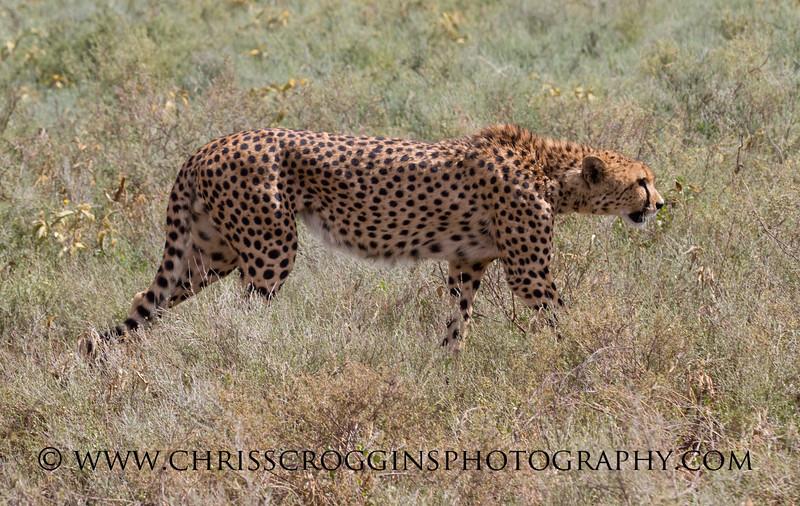 Red Cheetah Hunting