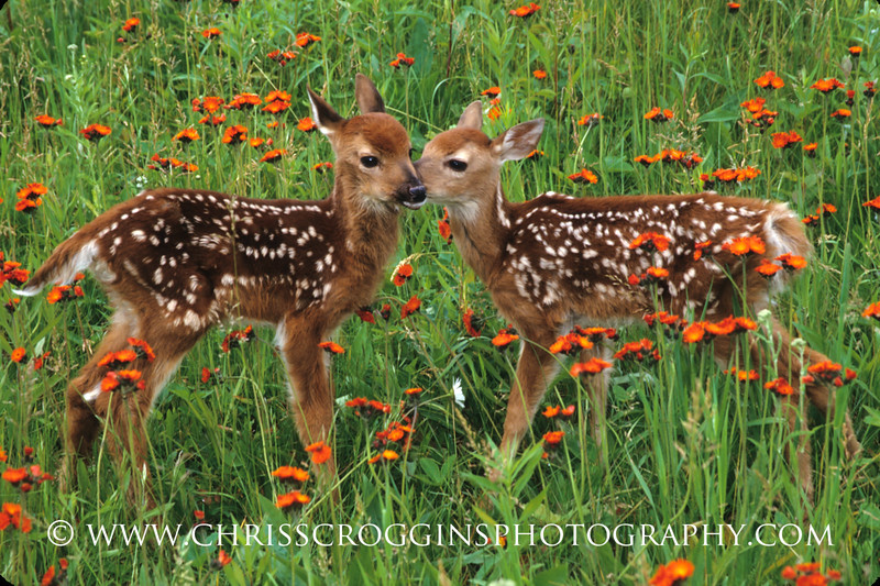 Two Fawns Talking