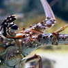 Carribean Spiny Lobster 3