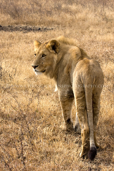 Young Maned Male Lion,<br />  Ngorongoro Crater,Tanzania
