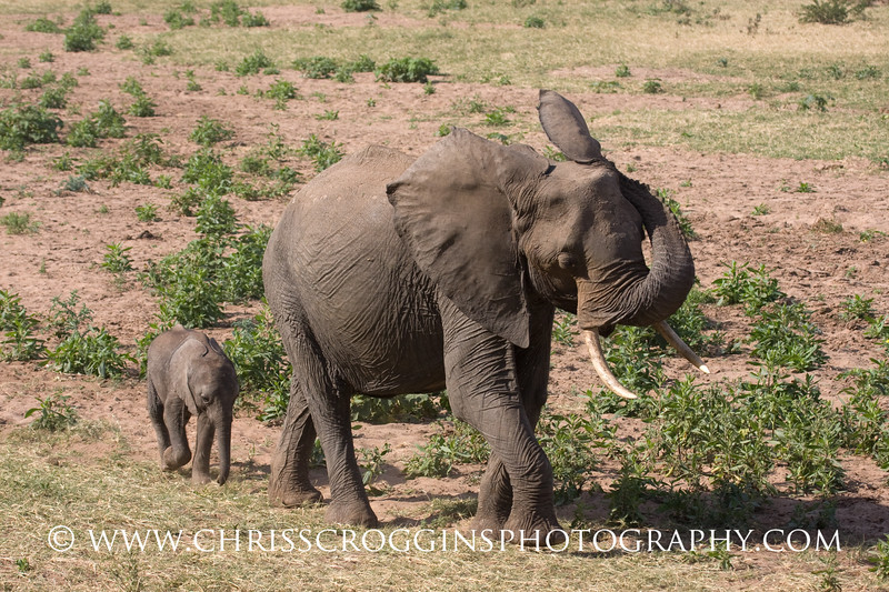 Elephant and Calf 2