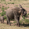 Elephant and Calf 2