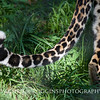 African Leopard Tail