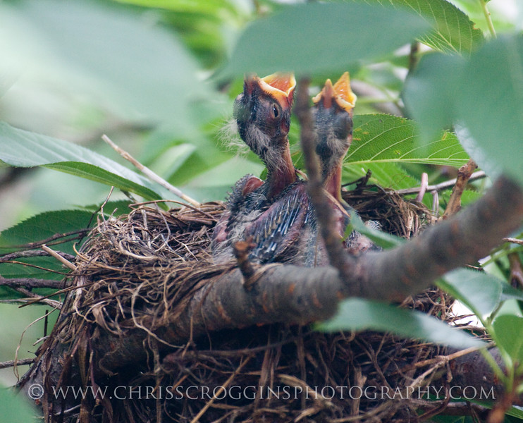 Baby Robins of this age focus on two things; sleeping and eating.