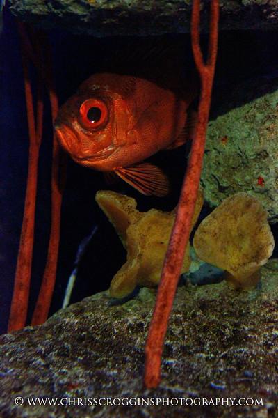 Short Big-eye Fish