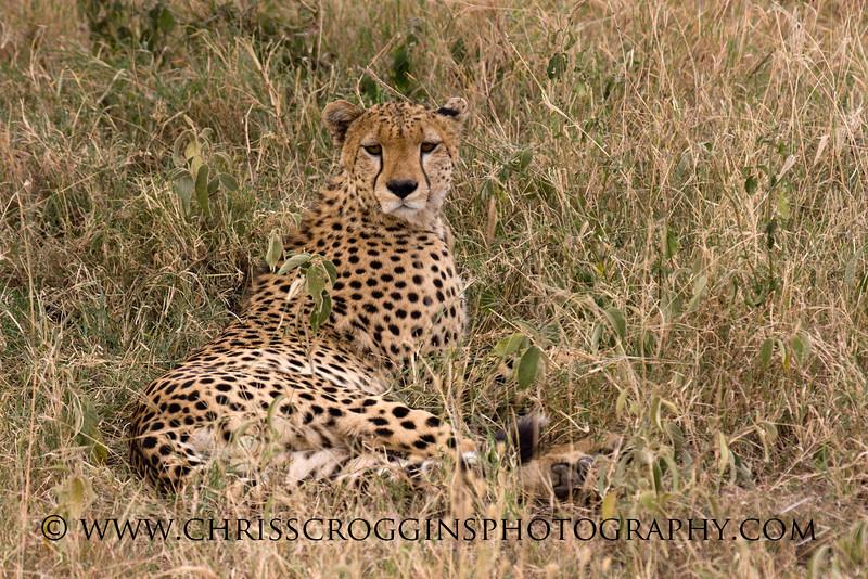 Cheetah in Grass H