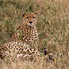 Cheetah in Grass H