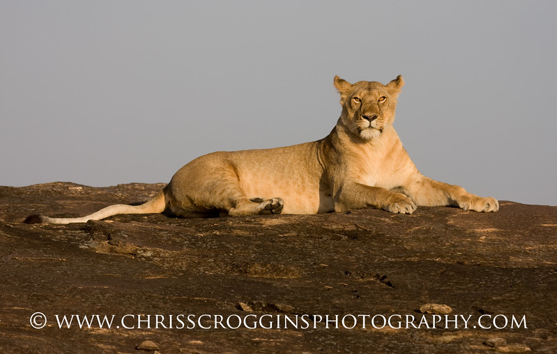 Lioness on Kopje.<br /> Masai Mara,<br /> Kenya, East Africa.