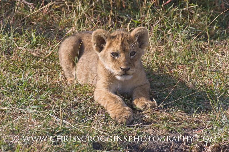 Female Lion Cub,<br />  Ndutu, Tanzania.