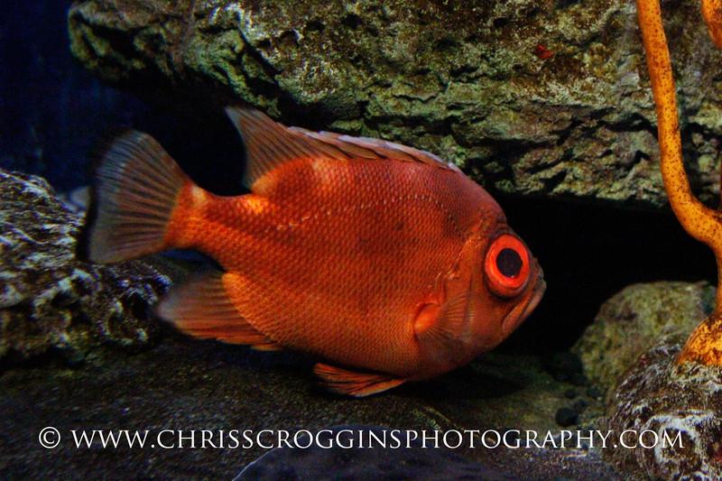 Short Big-eye Fish 2