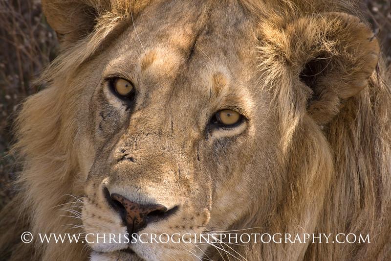 Serengeti Lion Portrait.