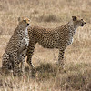 Two Cheetah Brothers