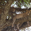 Two Leopards in a Tree