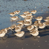 March of the Sanderlings 1.<br /> Sanibel Island, Florida.
