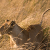 Female Lion Marking Territory,<br />  Masai Mara, Kenya.
