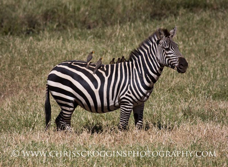 Zebra and Oxpecker friends.