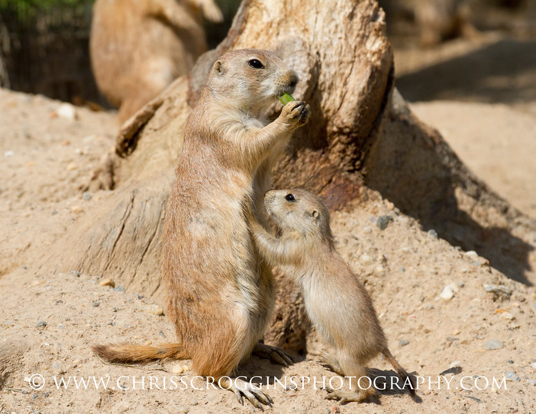 Prairie Dog Begging