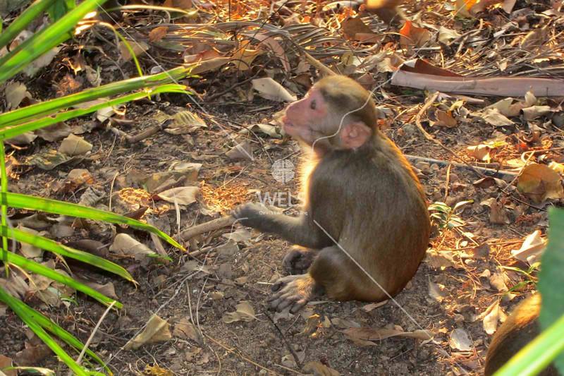 Indigenous monkey, Sanya, Hainan China by kstellick