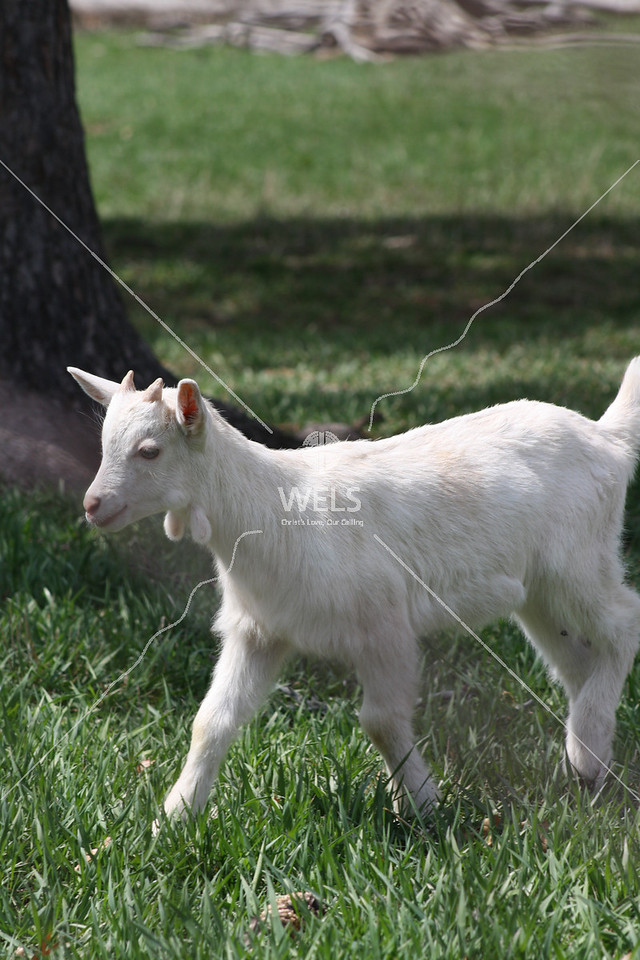 Kid goat by jduran
