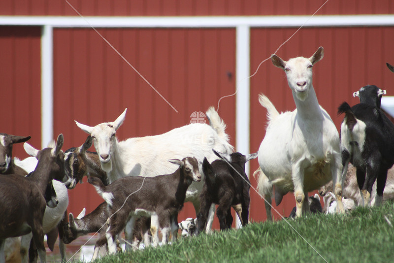 Flock of goats  by jduran