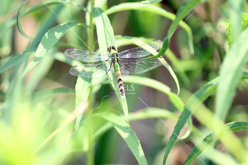 Green Dragonfly  by pthiele